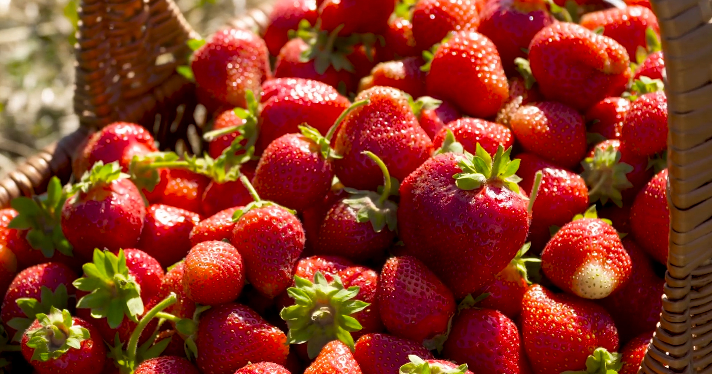 W&M Research: Junk DNA and the Strawberry Genome